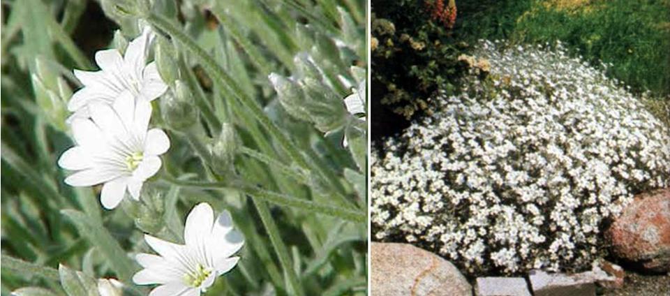 Cerastium tomentosum, molyhos madárhúr leírása, képe