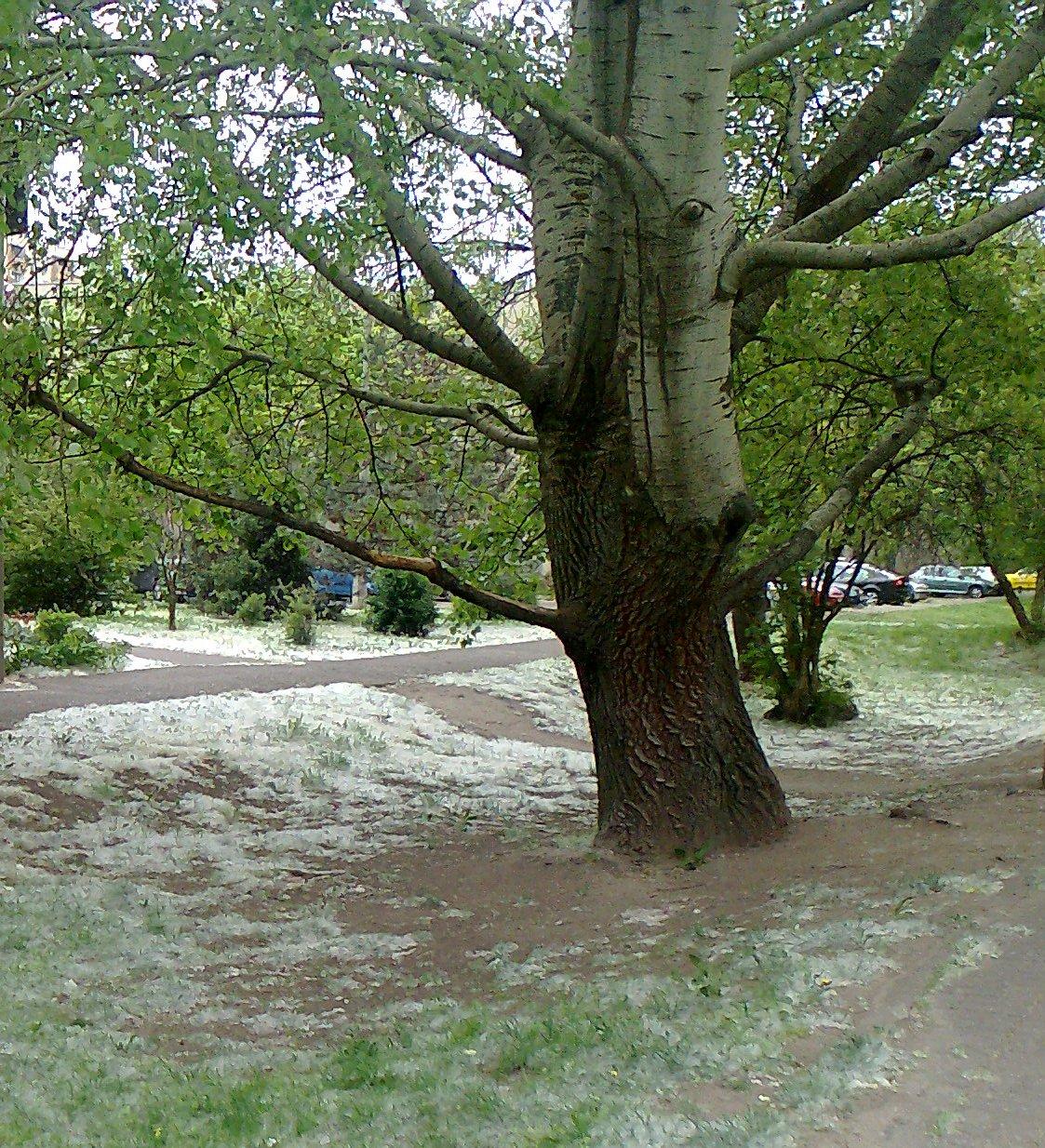 """Nyárfa allergia – tévhitek a tavaszi """"havazásról"""""""