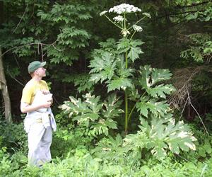 Kaukázusi medvetalp (Heracleum mantegazzianum) 4.9 (18)