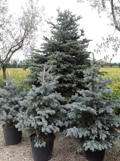 Élő karácsonyfa kiültetése – 3+1 tipp 5 (9)