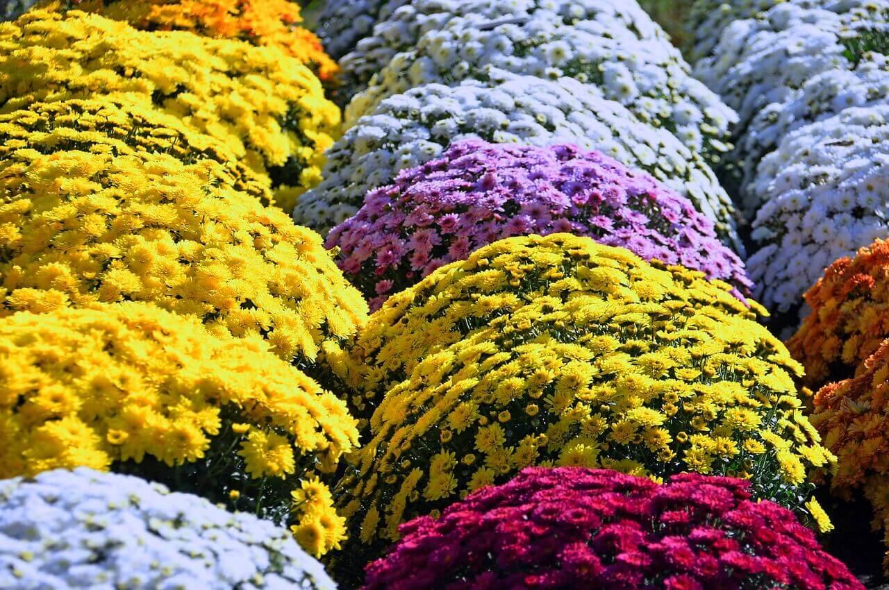 virágzó szobanövények, cserepes gömb krizantém, fehér, sárga, ciklámen színű