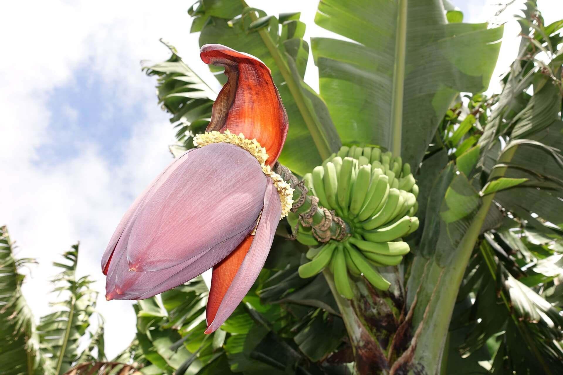 banán növény virágzata, termése