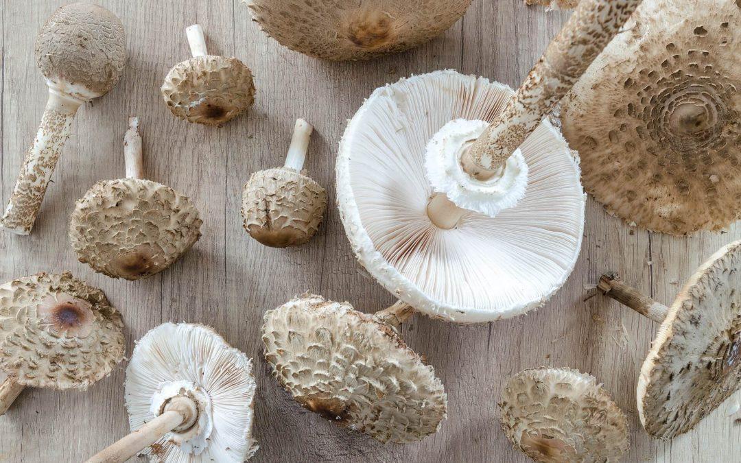 Ízletes, ehető gombák 5 (2)