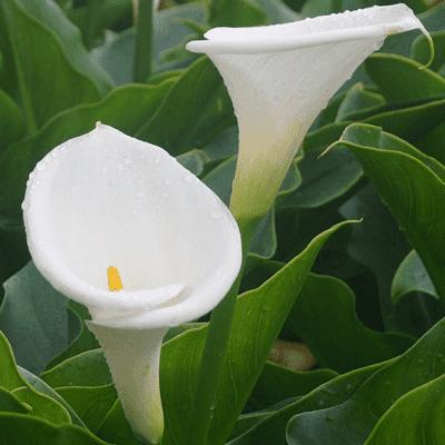 kála virágok, fehér