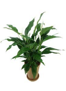cserepes virágzó spathiphyllum