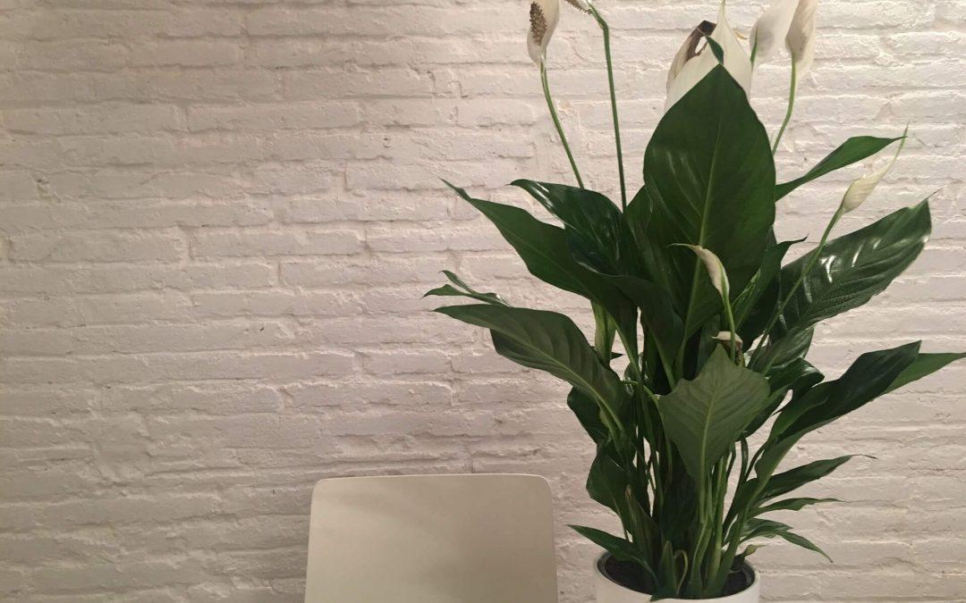 Vitorlavirág (Spathiphyllum wallisii) 4.6 (37)
