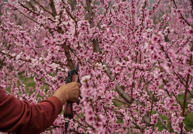 virágzó cserje metszése