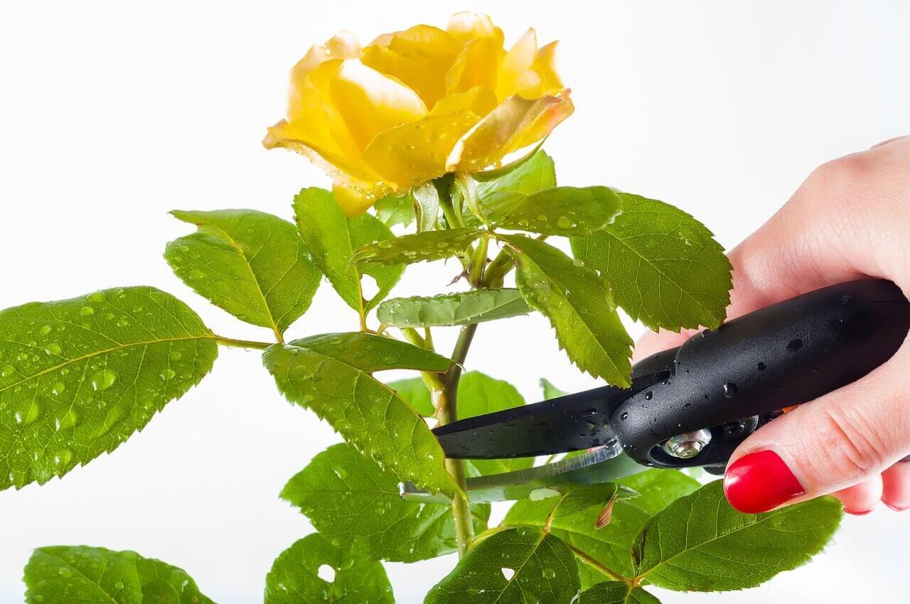 rózsa metszés