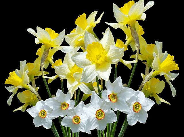 nárcisz fajok: csillag nárcisz, csupros nárcisz