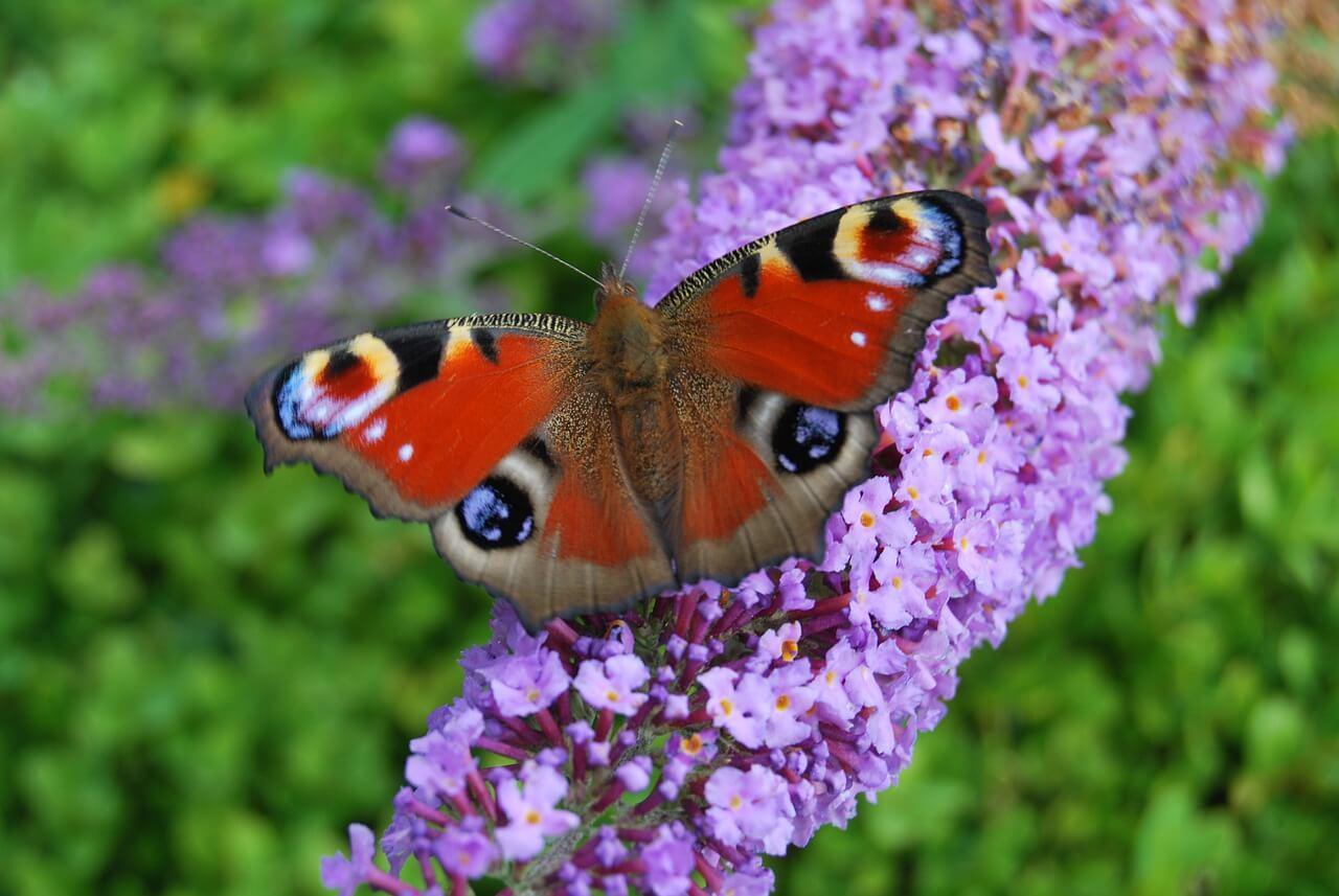 nyáriorgona virág pillangóval