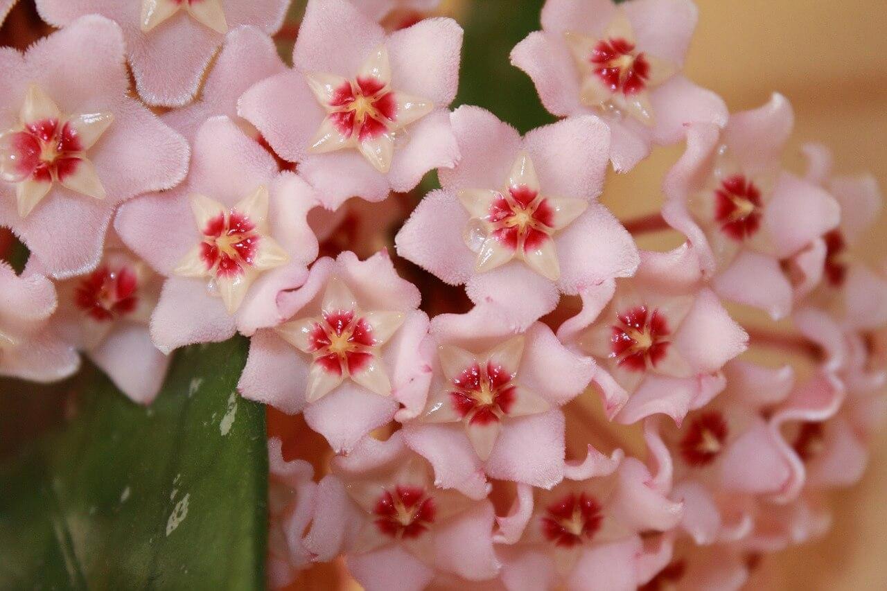 viaszvirág Hoya virágzata
