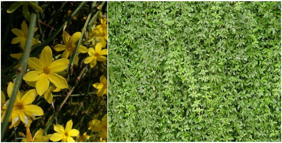Jasminum nudiflorum – Téli jázmin (Oleaceae) 0 (0)