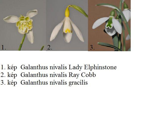 Hóvirág (Galanthus nivalis) 0 (0)