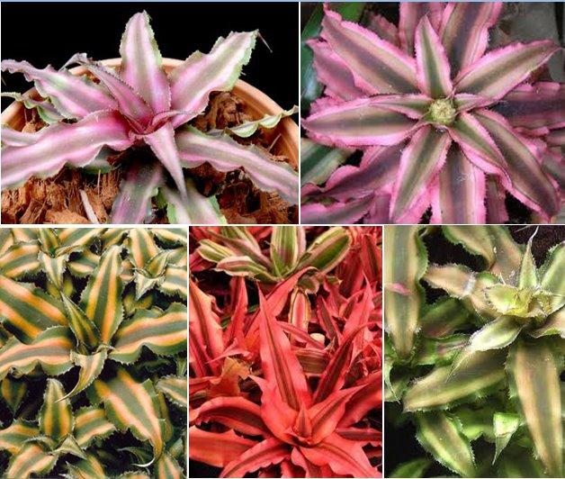 Cryptanthus bivittatus – Rejtettvirág 0 (0)