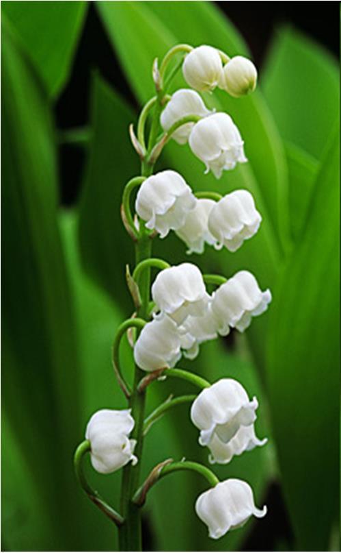 Convallaria majalis – májusi gyöngyvirág (Convallariaceae) 0 (0)