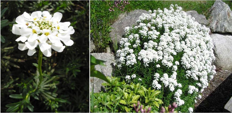 Iberis sempervirens – örökzöld tatárvirág (Brassicaceae) 5 (1)