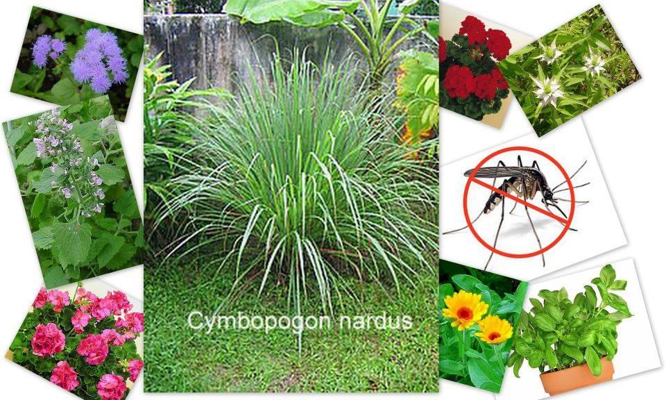 Növényekkel a szúnyogok ellen 1. 0 (0)