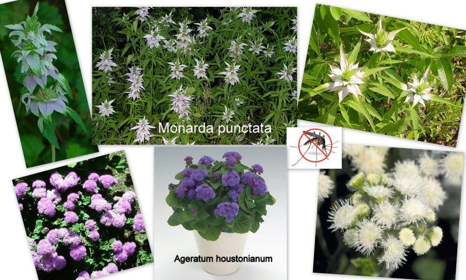 Növényekkel a szúnyogok ellen 2. 0 (0)