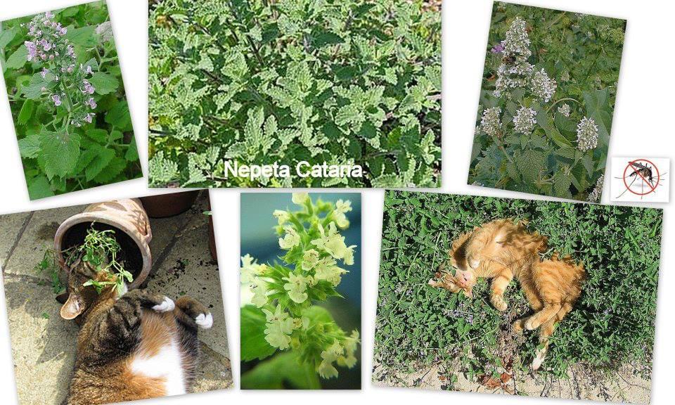 Növényekkel a szúnyogok ellen 3. 5 (1)