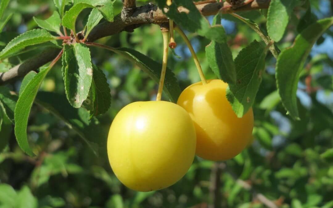 Cseresznyeszilva (Prunus cerasifera) 4.6 (9)