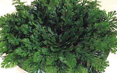 Jerikó rózsája (Selaginella lepidophylla – mexikói csipkeharaszt) 4.7 (29)