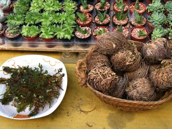 Selaginella lepidophylla szárazon és kinyílva