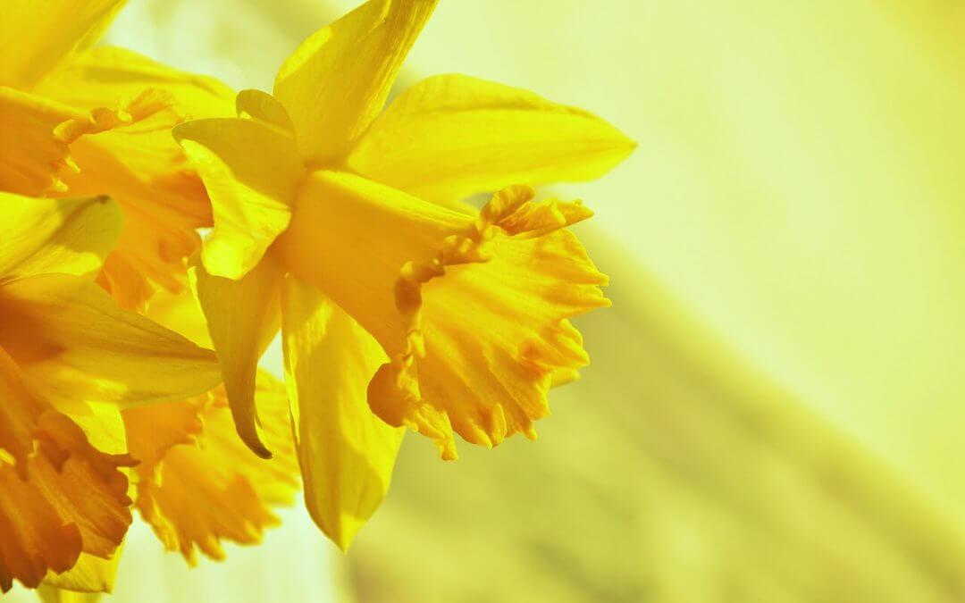 Nőnapi nárcisz 5 (1)