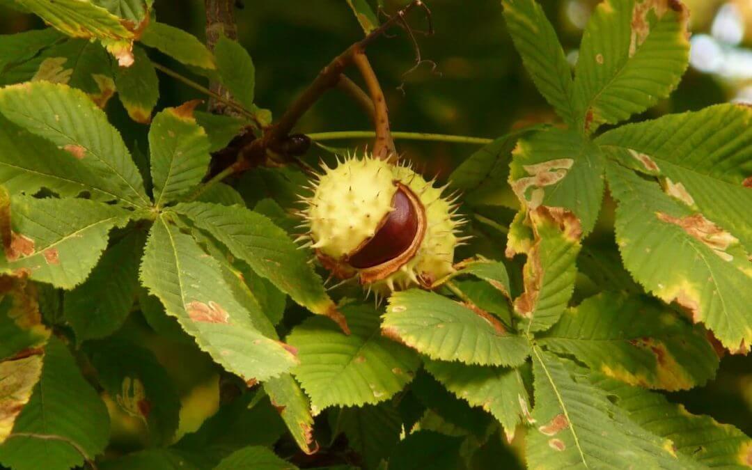 Mitől foltosak a vadgesztenye levelei? 5 (1)