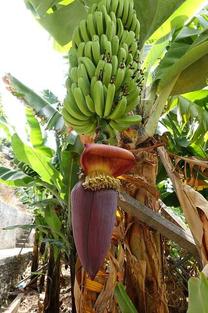 banán virágzat