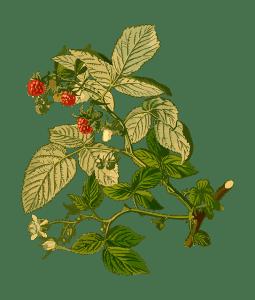 málna leveles, terméses hajtás