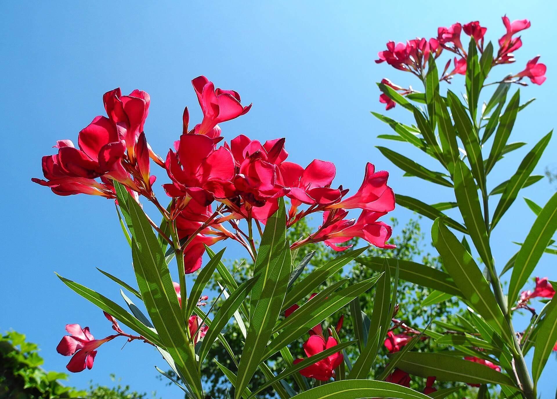 Leander virágzó hajtása